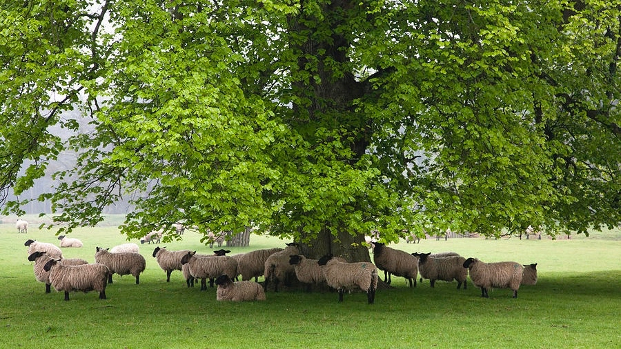 sheep-lying-down-in-green-pasture
